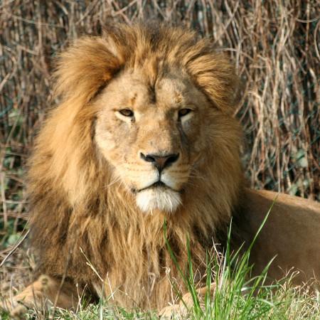 leone-parco-natura-viva